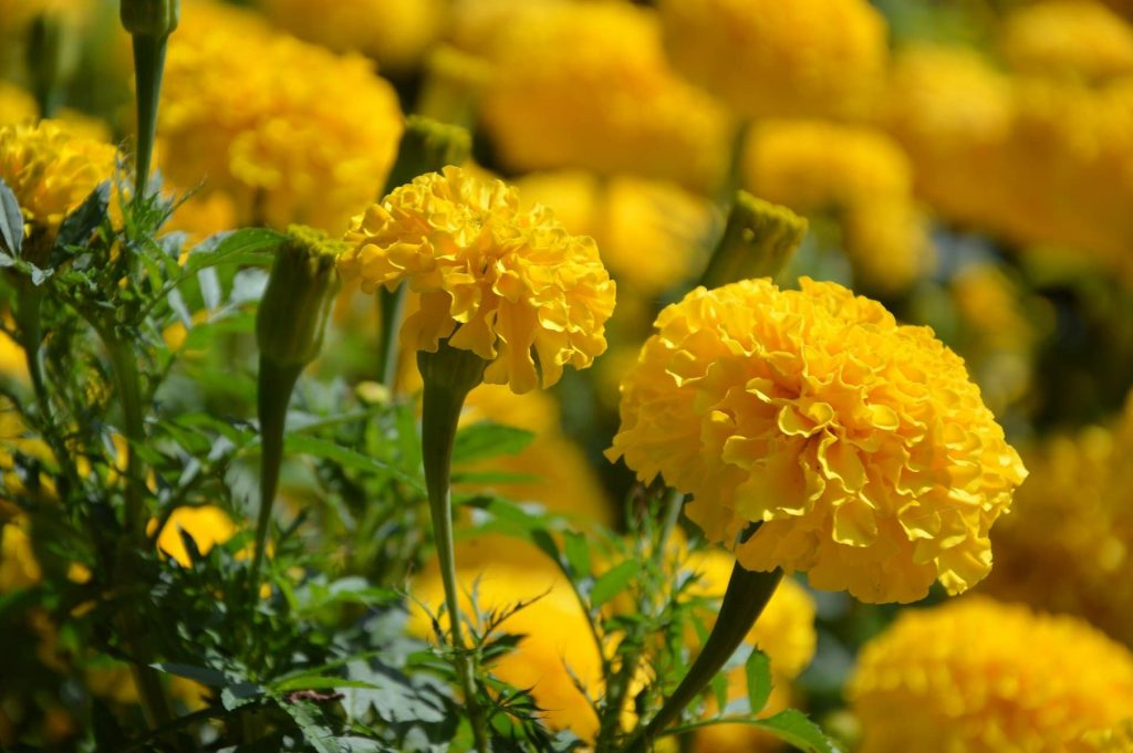 Marigold Flower Care Tips for October Birth Flower