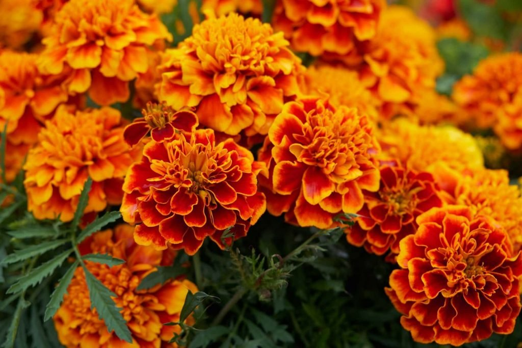 Marigold Flower Meaning Official October Birth Flower