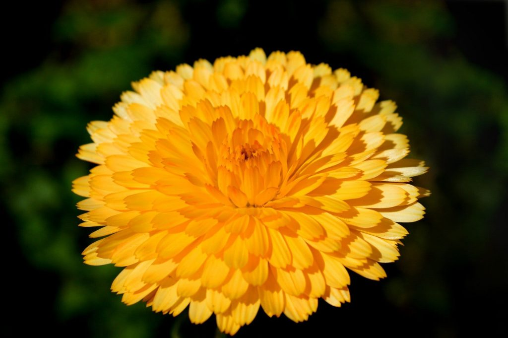 Marigold Flower Meaning & Symbolism for October Birthday