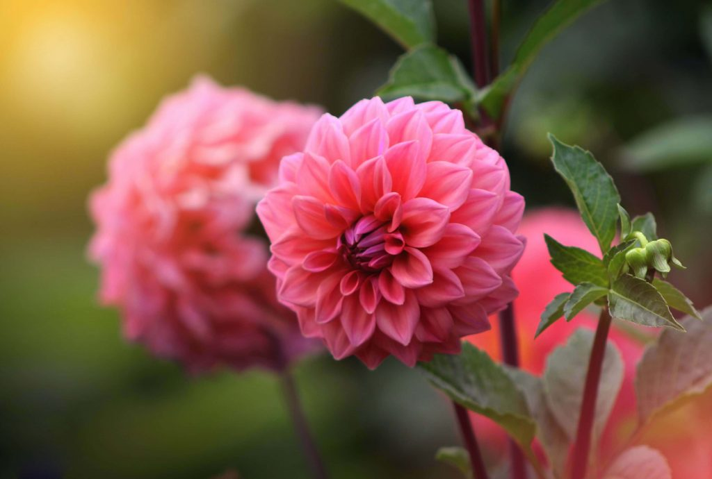 Pink Dahlia Meaning