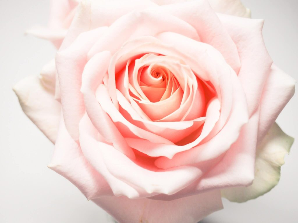 Pink rose flower meaning and symbolism
