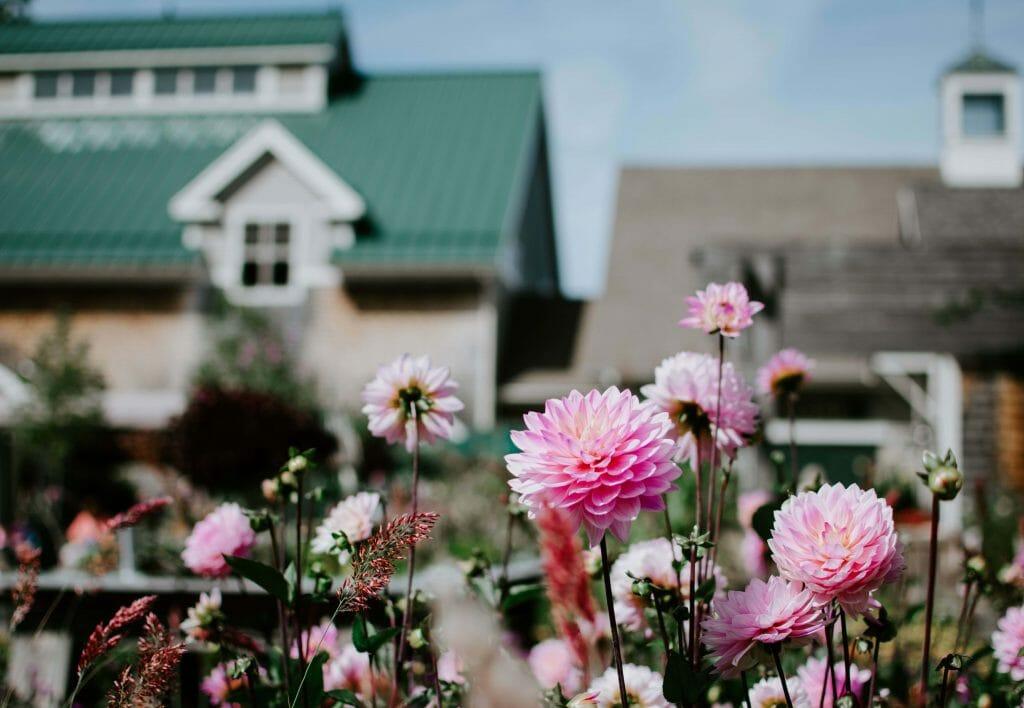 Planting Dahlia Flowers