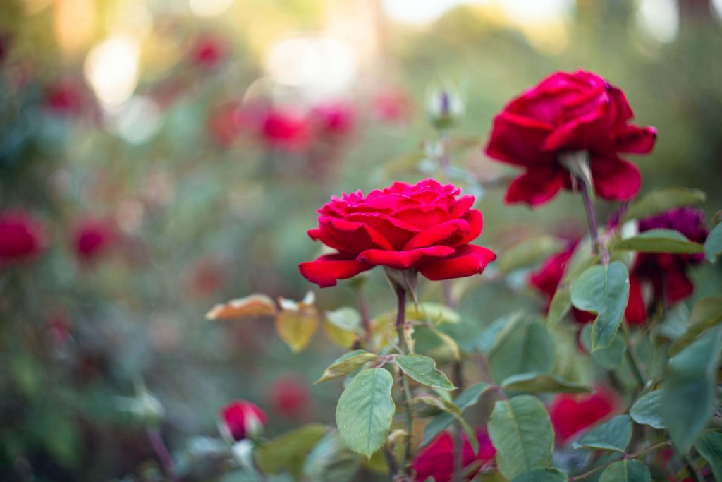 Tips on how to grow roses