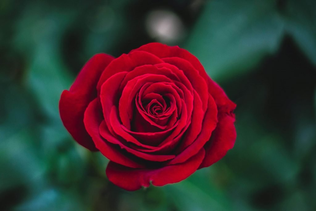 Red rose flower meaning and symbolism
