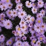 The Aster Flower Official birth flower for September