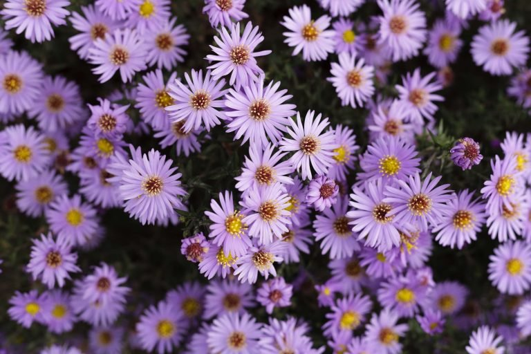 The Aster Flower Official birth flower for September