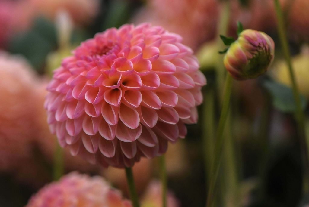 The Dahlia Flower