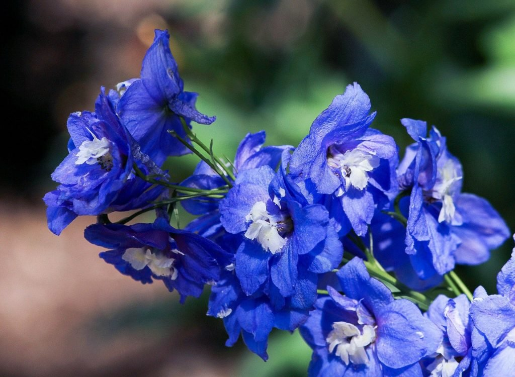 The Delphinium Flower