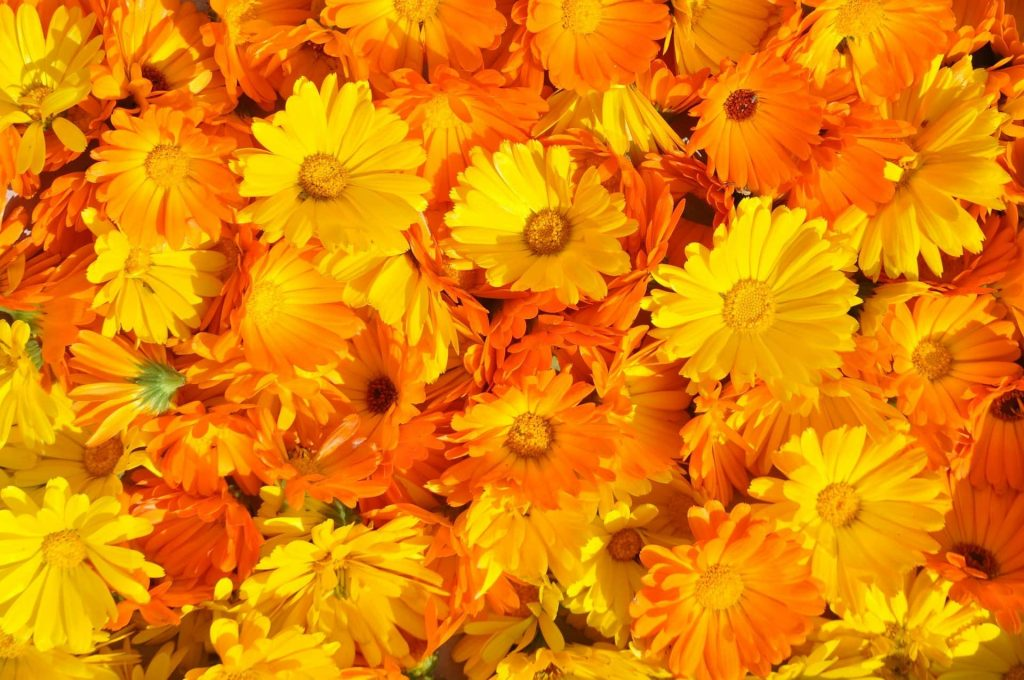 The Official Birth Flower for October Marigold