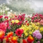 Ultimate Guide to Dahlia Flowers Meaning, Symbolism, Colors