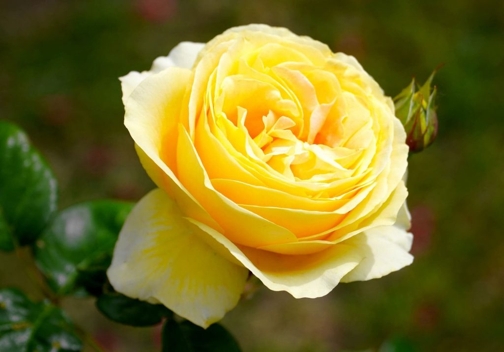 Yellow rose flower meaning and symbolism
