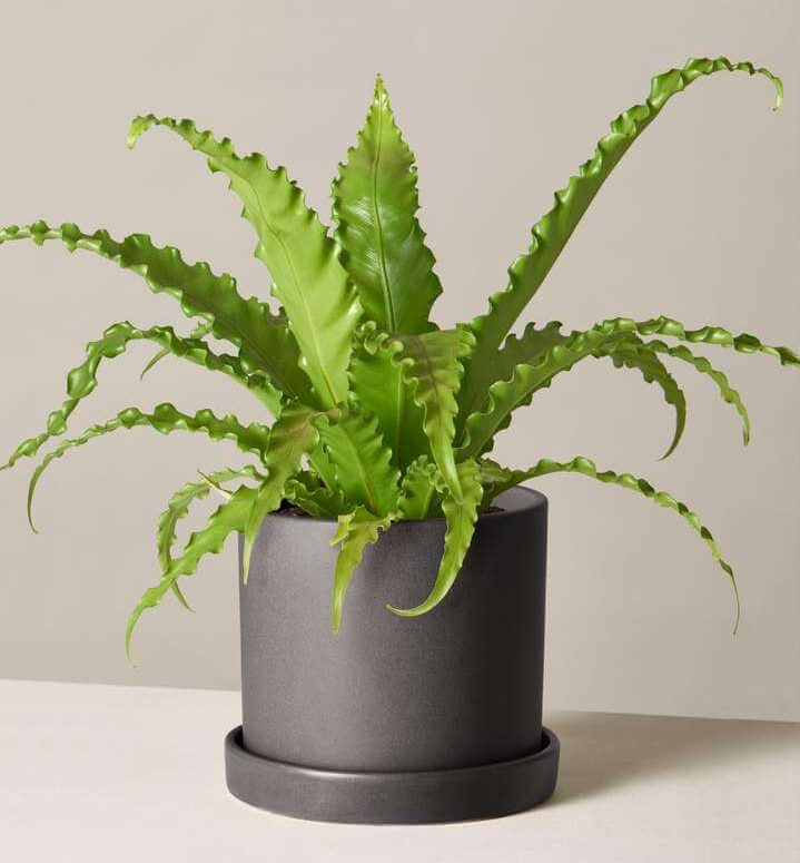 Bird's Nest Fern Indoor Hanging Plant from The Sill