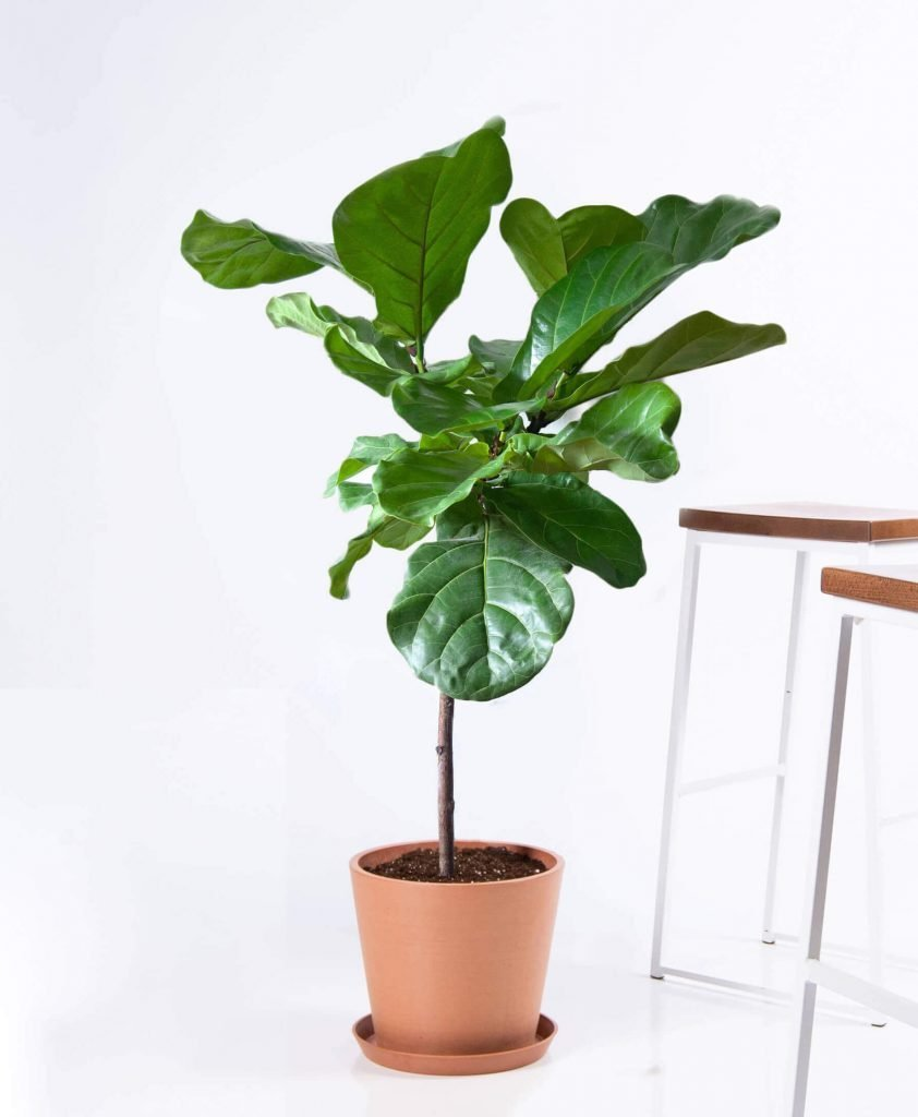 Bloomscape Fiddle Leaf Fig Plant Delivery in the US