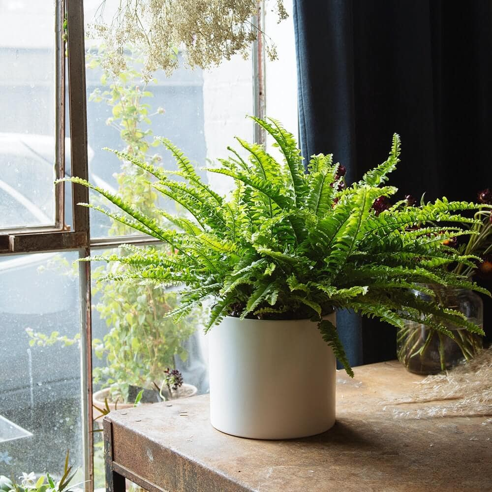 Boston Fern Indoor Hanging Plant from Floom