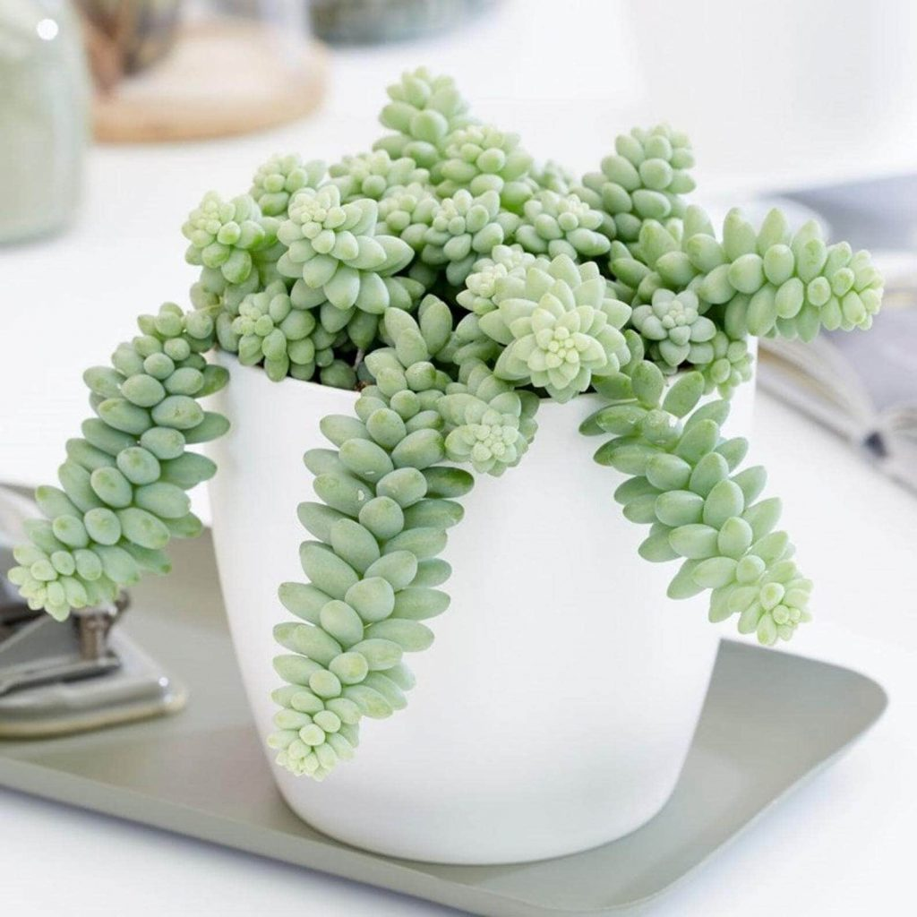 Burro's Tail (Sedum Morganianum) Indoor Hanging Plant available at Etsy