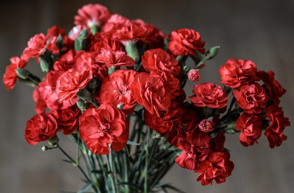 Carnation Flowers for December Birthdays