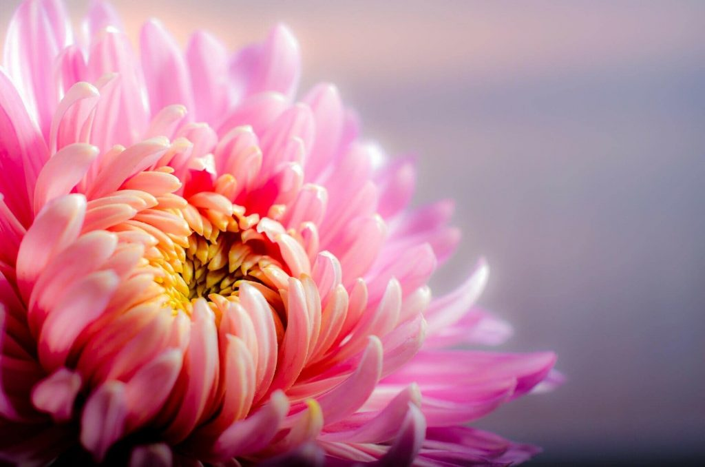 Chrysanthemums Birth Flowers For November Meanings and Symbolism