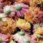 Chrysanthemums Official Birth Flower for November