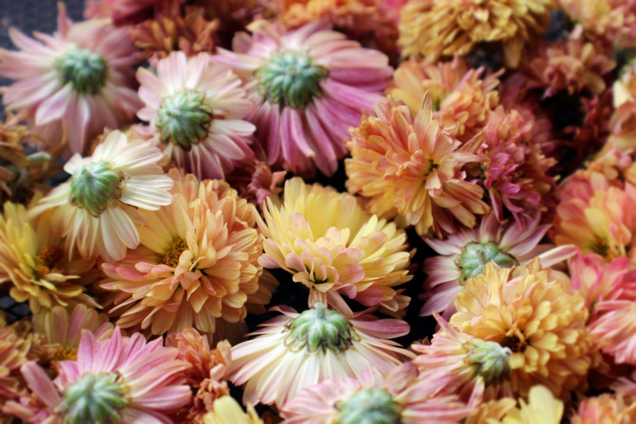 Chrysanthemums Official Birth Flower for November