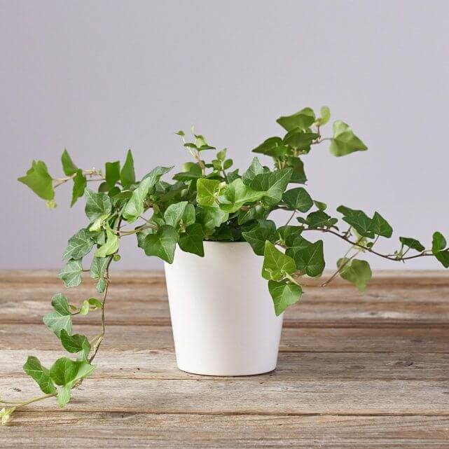 English Ivy Best Plants for Indoor Hanging Baskets from the Bouqs