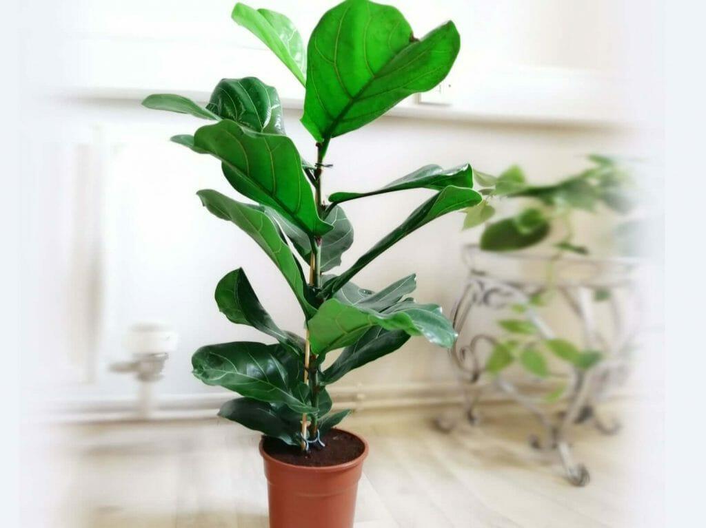 Etsy Fiddle Leaf Fig Plant Delivery