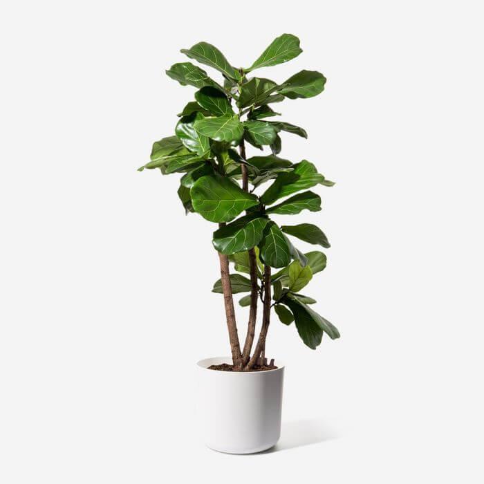 FLOWERBX Fiddle Leaf Fig Tree Delivery