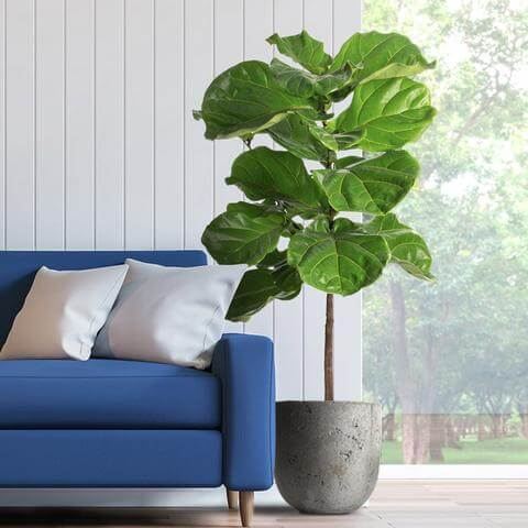Fast Growing Trees Fiddle Leaf Fig Tree Delivery