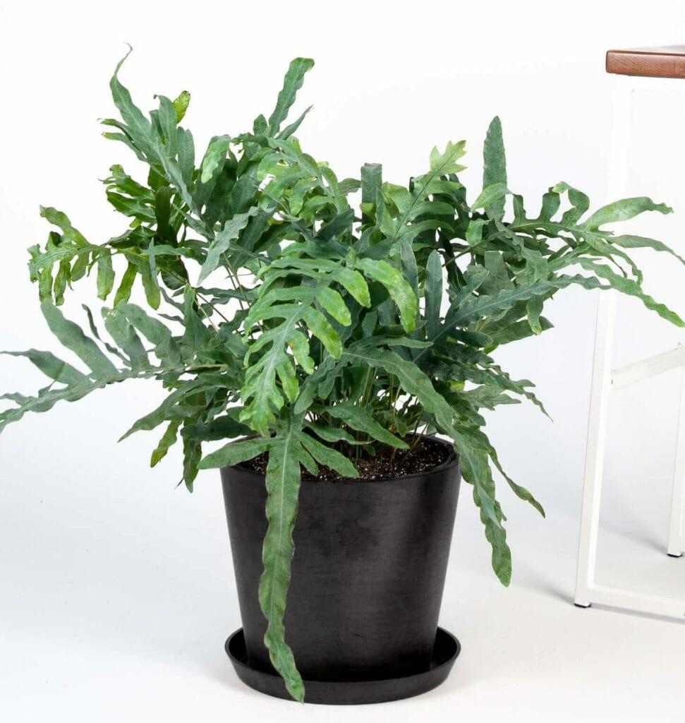 Footed Blue Star Fern Best Indoor Hanging Plants