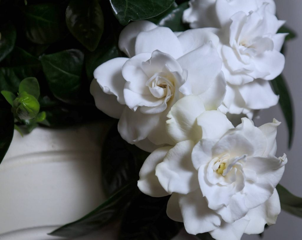 Gardenia Flowers for December Birthdays