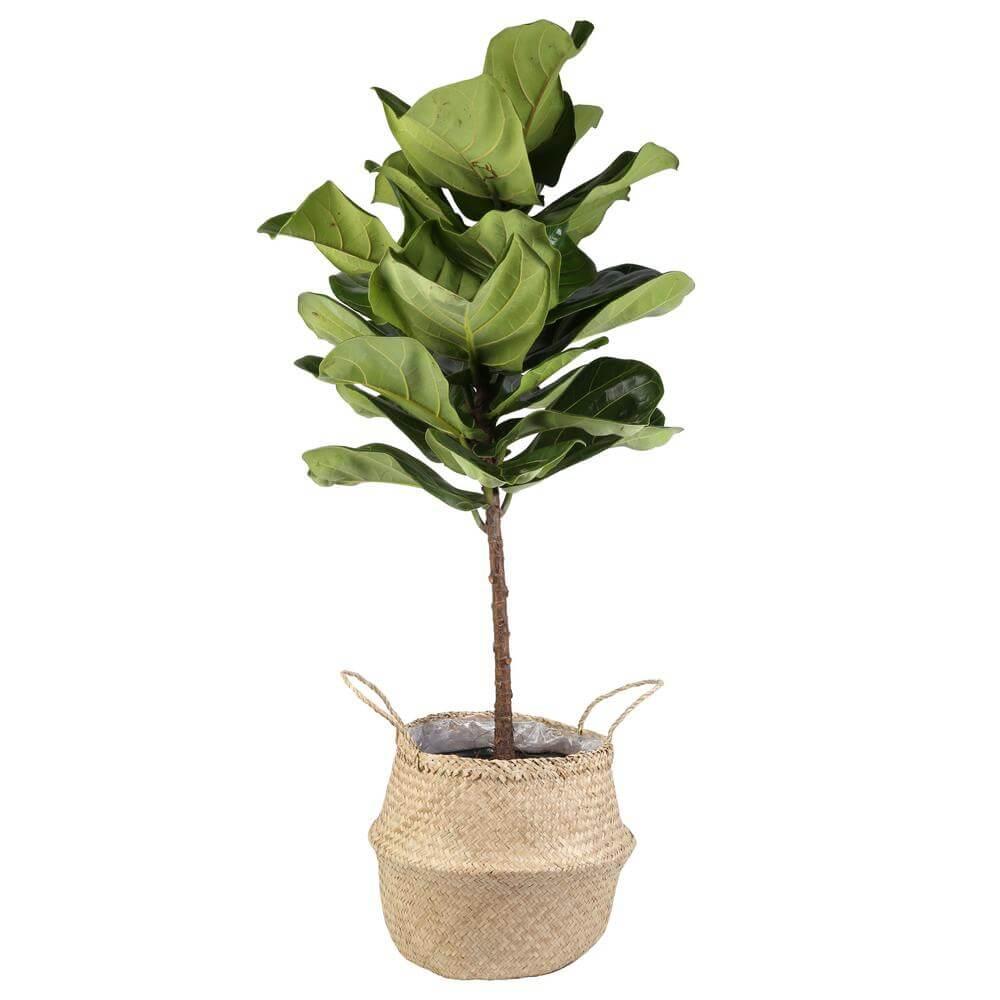 Home Depot Fiddle Leaf Fig Tree Delivery
