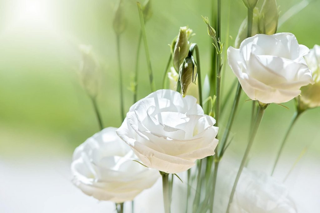 How to care for Lisianthus Flowers (Eustoma)