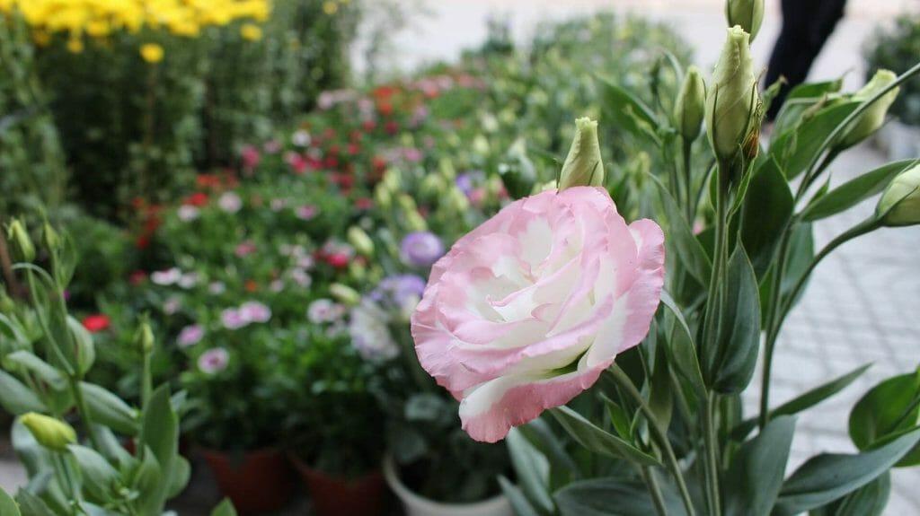 How to grow Lisianthus Flowers (Eustoma)