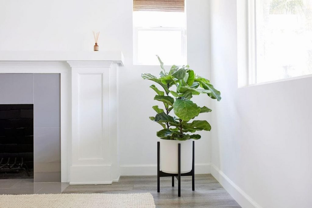 Leon & George Fiddle Leaf Fig Bush Delivery in US