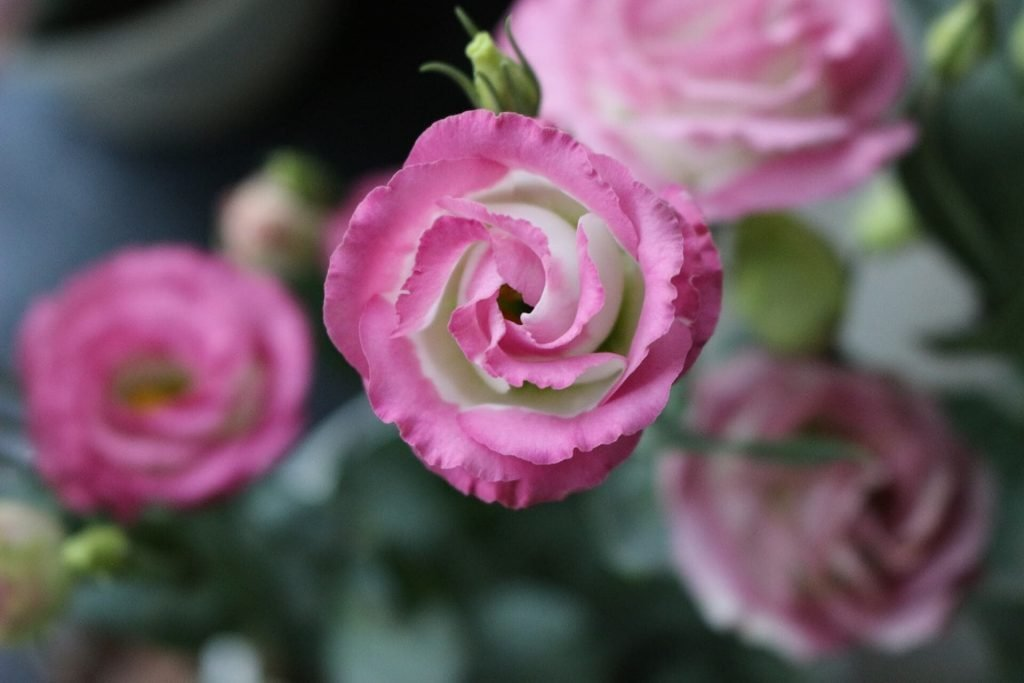 Lisianthus Flowers (Eustoma) Meanings and Symbolism