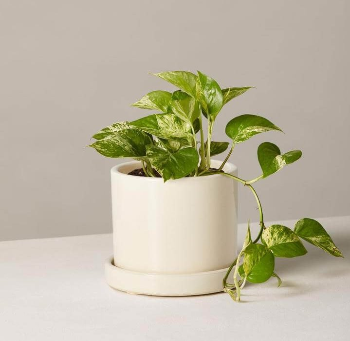 Marble Queen Pothos Indoor hanging plant from the Sill