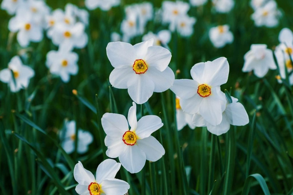 Narcissus Birth Flower for December