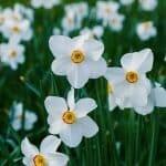 Narcissus Birth Flower for December