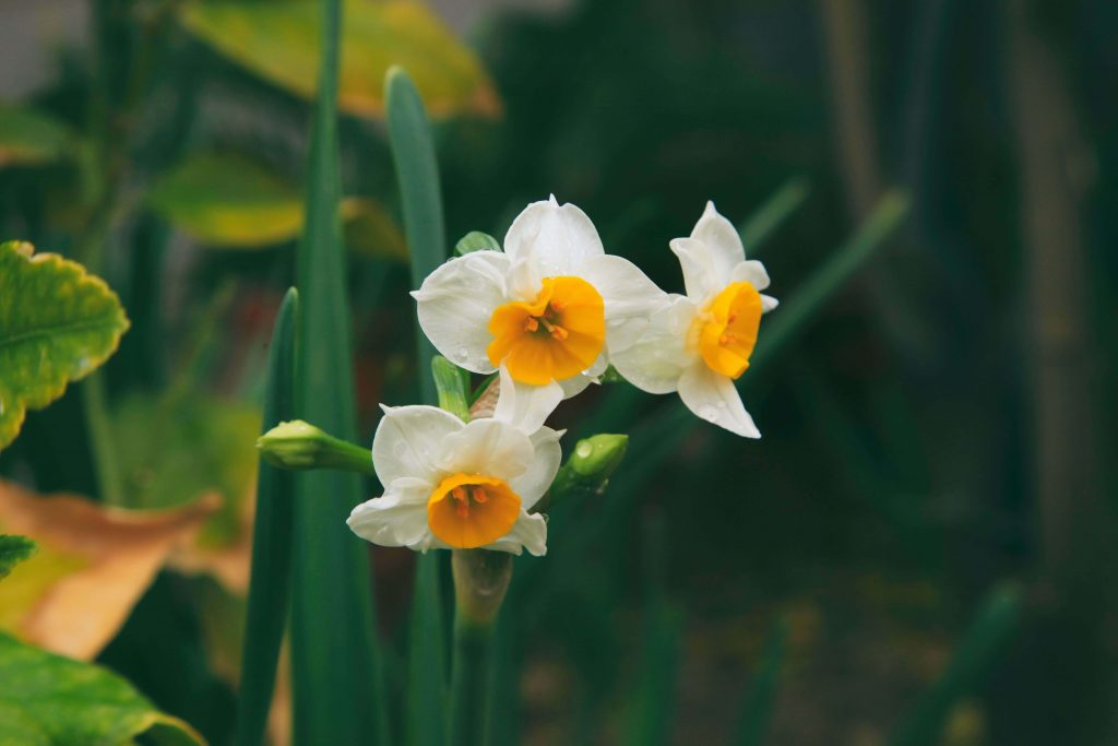 Narcissus Official Birth Flowers for December