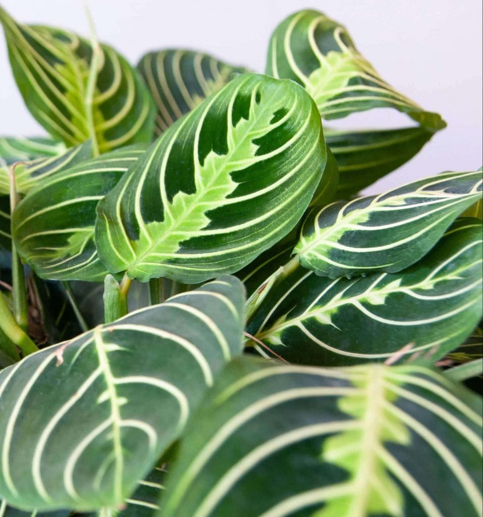 Neon Prayer Plant Indoor Houseplants for Hanging Baskets