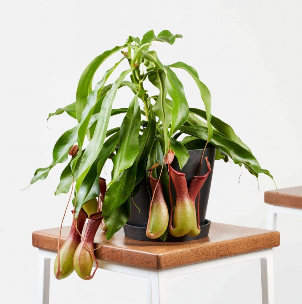 Nepenthes Pitcher Plant Best Houseplants for Indoor Hanging Baskets from Bloomscape
