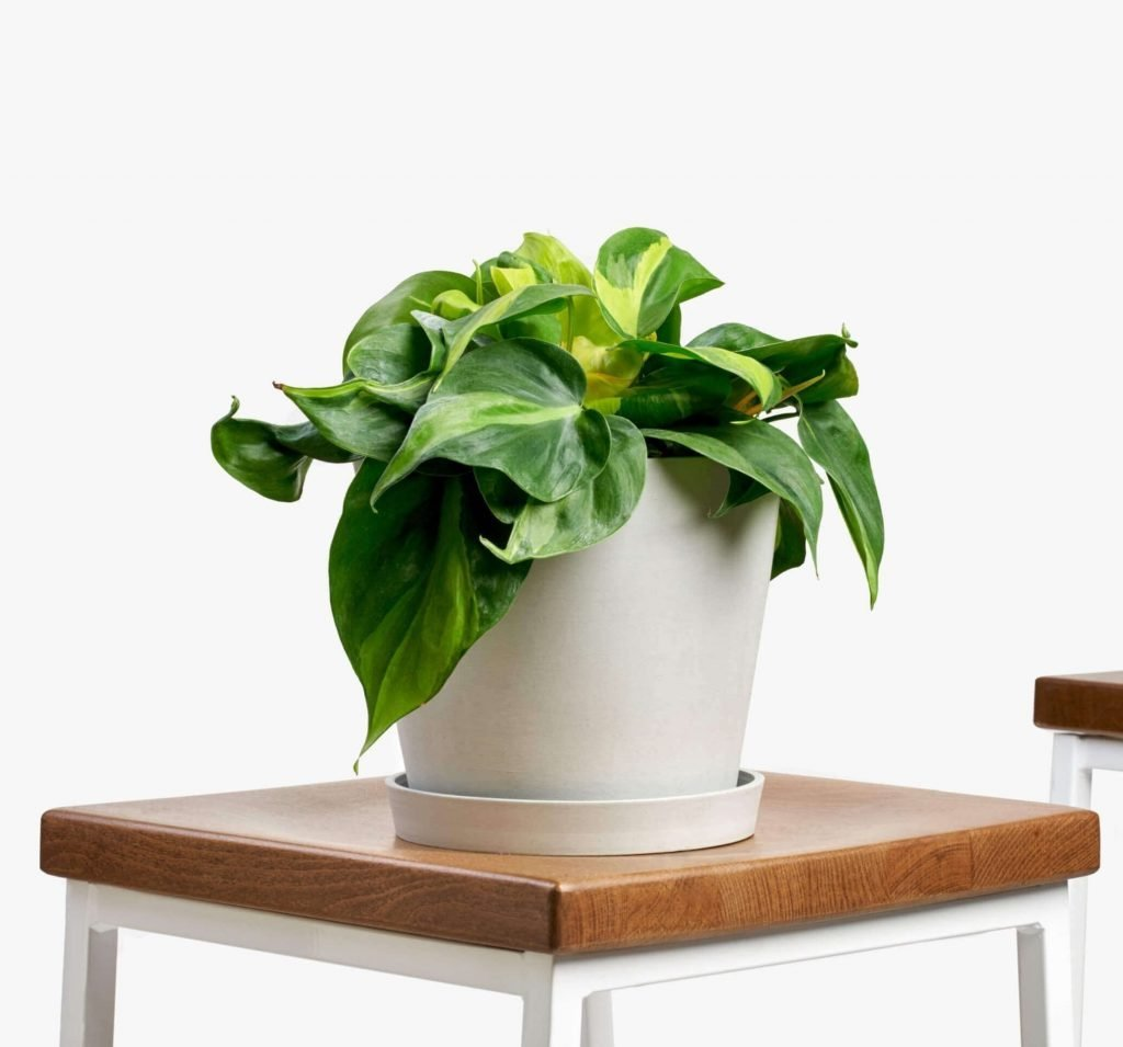 Philodendron Brasil for Hanging Indoor Houseplants from Bloomscape