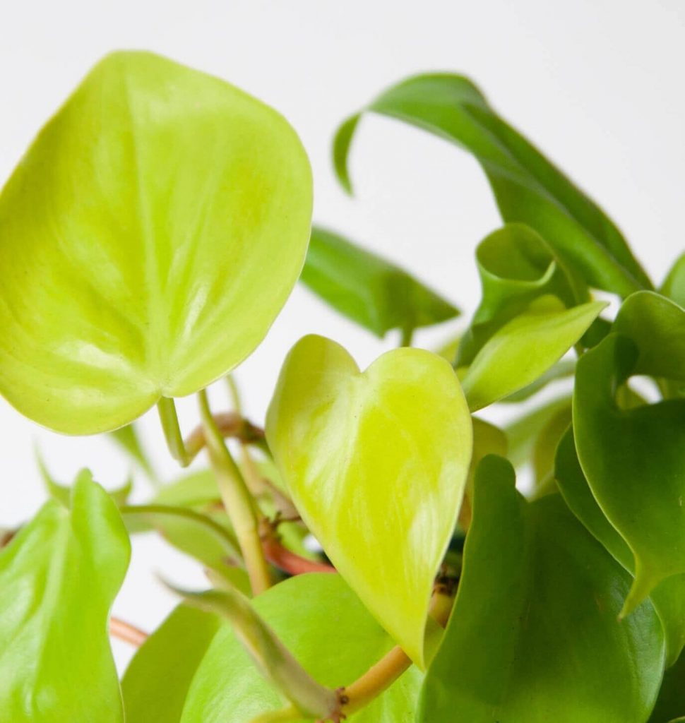 Philodendron Lemon Lime Indoor Hanging Plant from Bloomscape