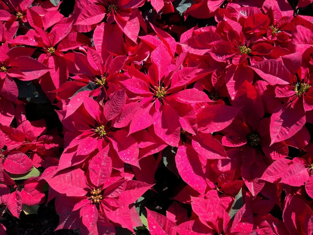 Poinsettia Official Birth Flower For December