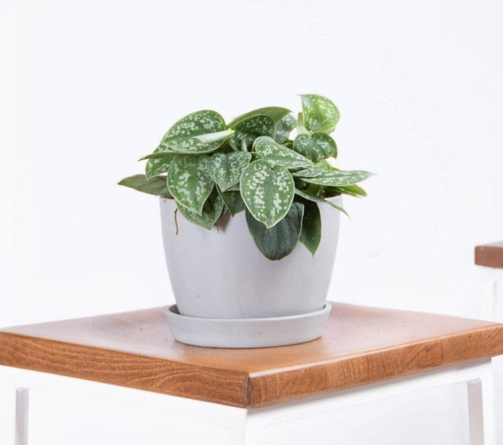 Silver Pothos Indoor Hanging Houseplant from Bloomscape