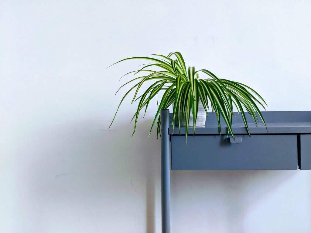 Spider Plant Best Indoor Plants for Hanging Baskets