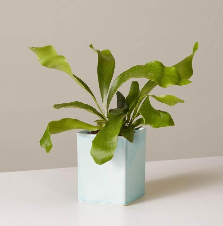 Staghorn Fern Plant for Indoor Hanging Plants