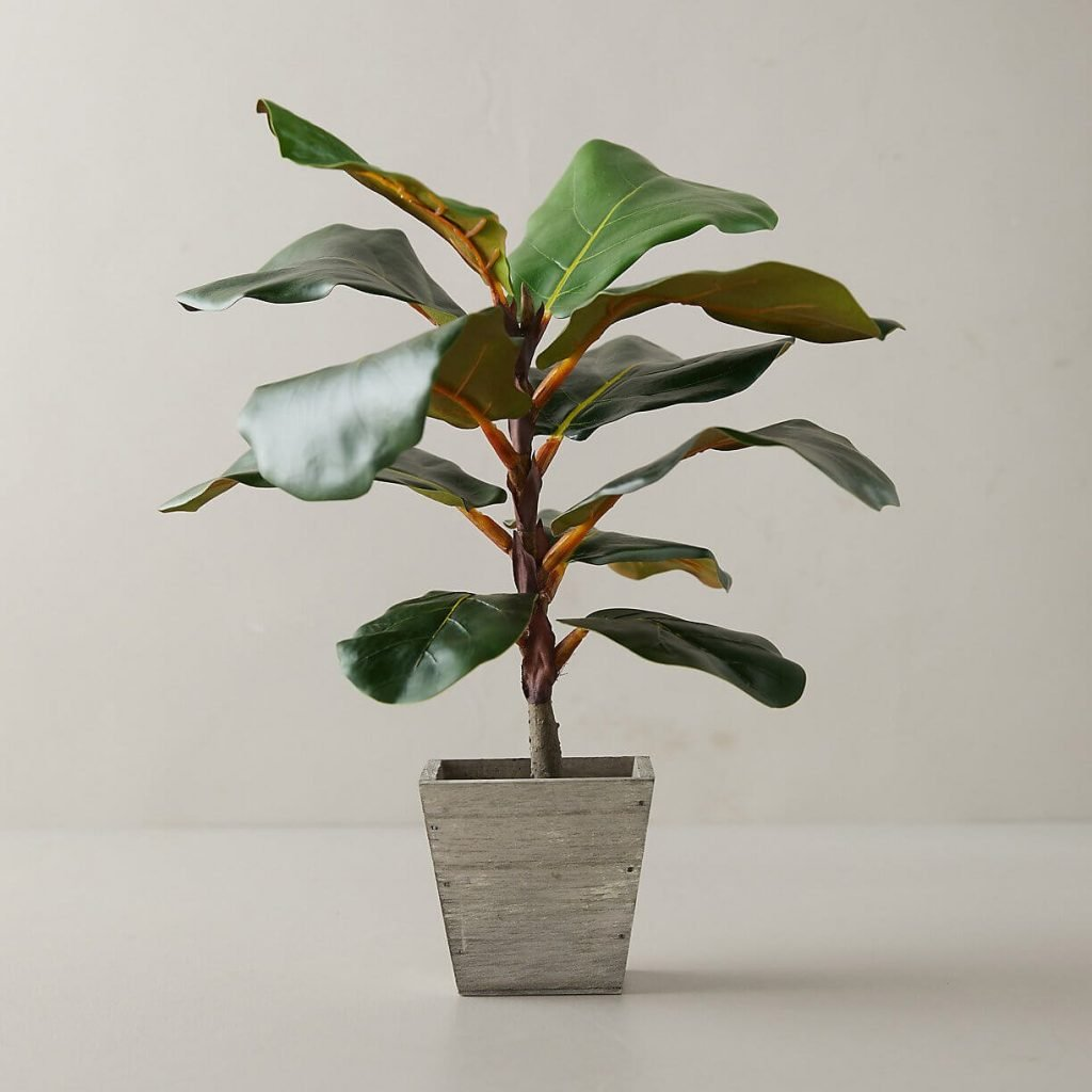 Terrain Fiddle Leaf Fig Plant Delivery