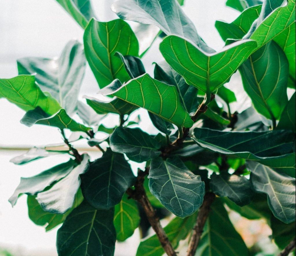 The Best Plant Shops to Buy Fiddle Leaf Trees and Bushes