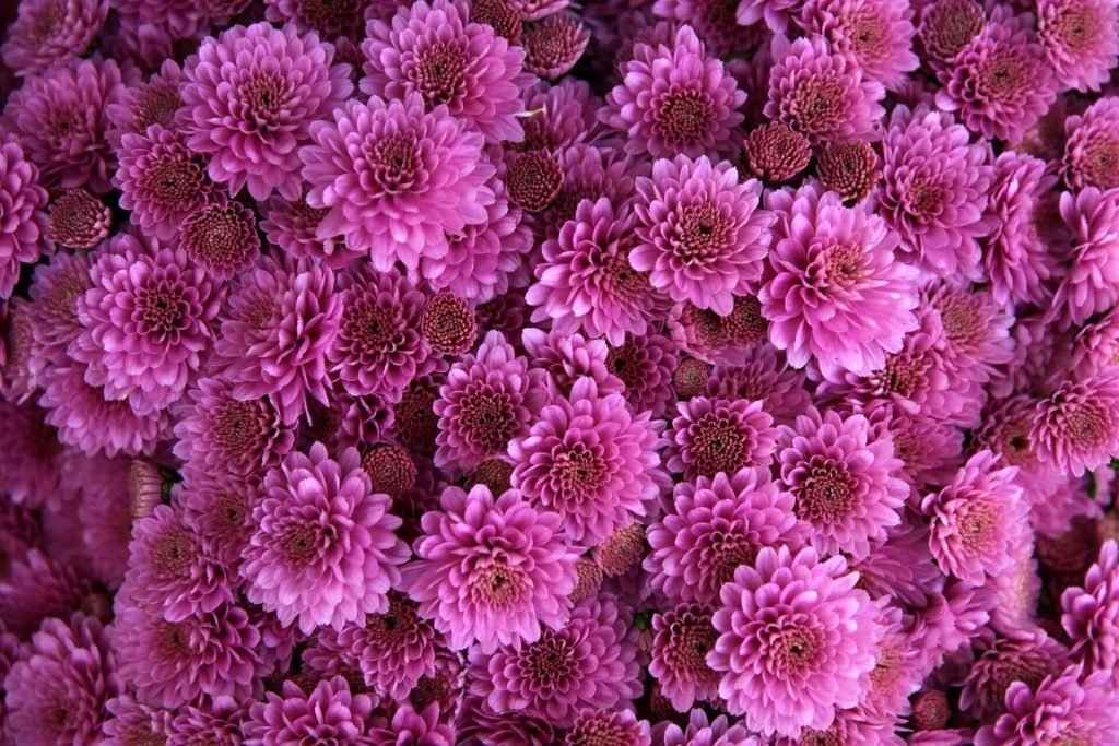 The Official Birth Flower for November