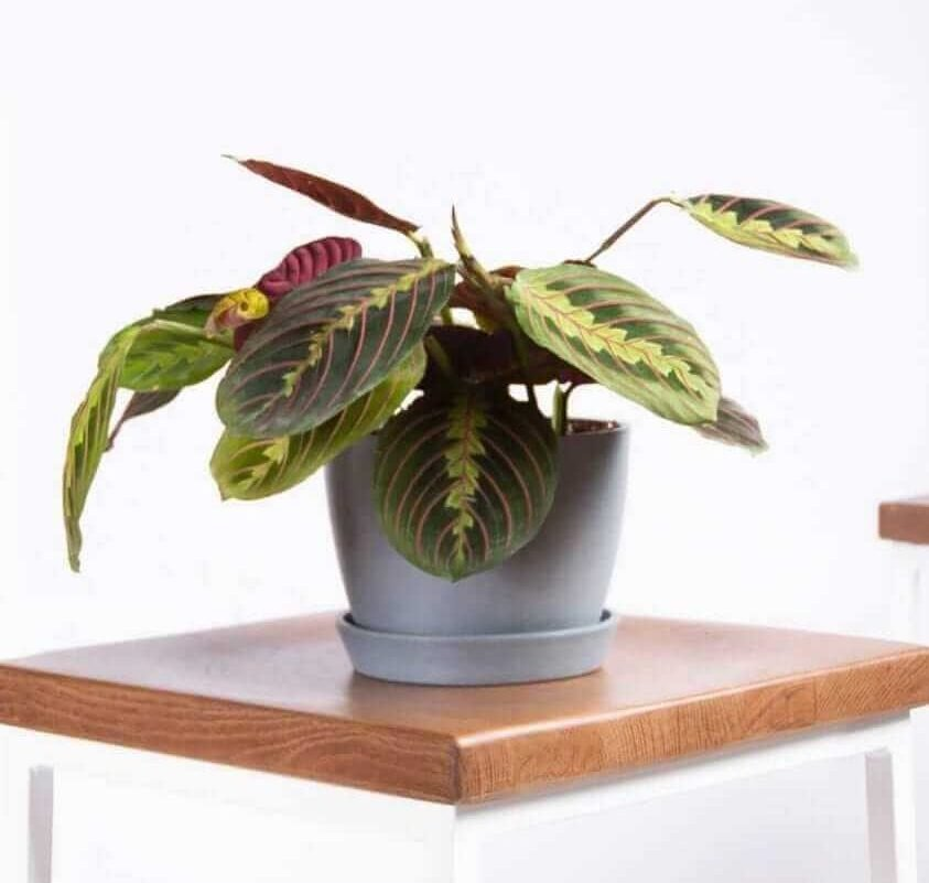 The Red Prayer Plant for Hanging Indoor Plants from Bloomscape